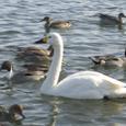 Swan_14