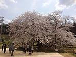 Ishibezakura_09