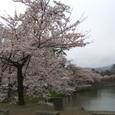 Sakura018