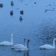 Swan_10